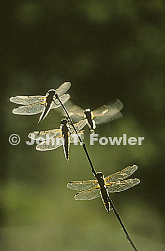 Dragonflies at rest in evening light, Odonata